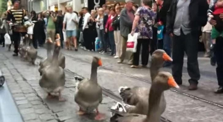 In Belgio la parata delle oche. Una nuova tendenza?